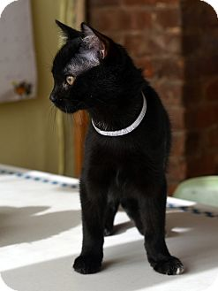 Bombay Kitten for adoption in Brooklyn, New York - Amy