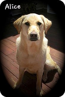 Labrador Retriever Dog for adoption in Albany, New York - Alice