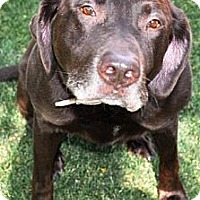 Adopt A Pet :: Abby - Gilbert, AZ