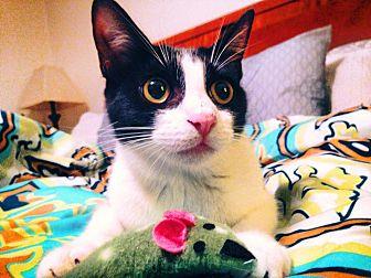 Domestic Shorthair Cat for adoption in Burlington, North Carolina - PANDORA
