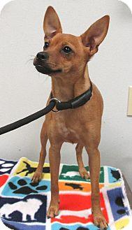 Conroe, TX - Chihuahua/Basenji Mix. Meet Mulberry2 a Dog for Adoption.