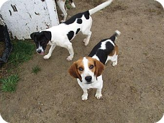 Beagle Mix Dog for adoption in Liberty Center, Ohio - Jake