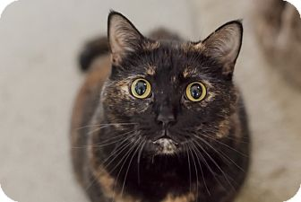 Domestic Shorthair Cat for adoption in Wilmington, Ohio - Wendy