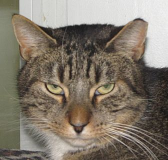 Domestic Shorthair Cat for adoption in Walden, New York - Timber