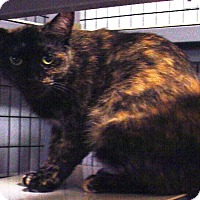 Domestic Shorthair Cat for adoption in Kalamazoo, Michigan - Valka