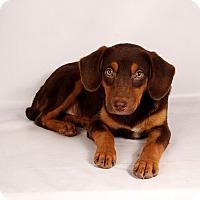 Adopt A Pet :: Chad Lab Aussie - St. Louis, MO