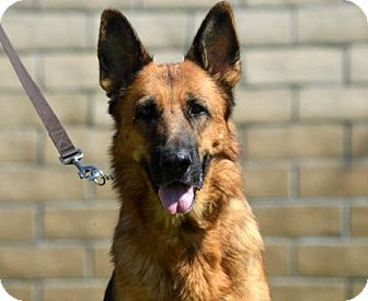 German Shepherd Dog Dog for adoption in San Diego, California - Morgan