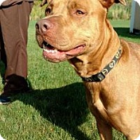 Pit Bull Terrier Mix Dog for adoption in Ashtabula, Ohio - Kudos