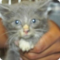 Adopt A Pet :: Cat 0004 - Rocky Mount, NC