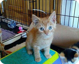 Domestic Shorthair Kitten for adoption in Rootstown, Ohio - Kitten - Jack