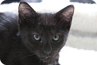 Domestic Shorthair Kitten for adoption in Sarasota, Florida - Michael