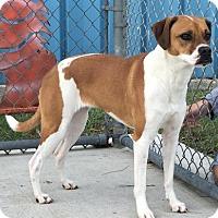 Boxer Mix Dog for adoption in Manteo, North Carolina - Sammie