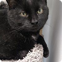 Domestic Shorthair Cat for adoption in Chaska, Minnesota - Sheldon