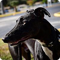 Adopt A Pet :: Crazydixon - Sarasota, FL