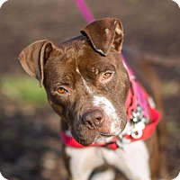 Pit Bull Terrier Dog for adoption in Dearborn, Michigan - Minnie