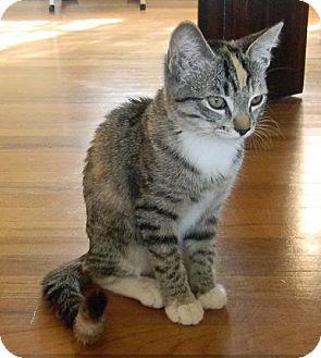 Domestic Shorthair Kitten for adoption in san diego, California - Emme