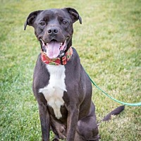 Boxer Mix Dog for adoption in San Diego, California - Clyde