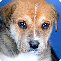 Adopt A Pet :: DILL(OUR