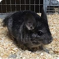 Adopt A Pet :: Weezy - Hammond, IN