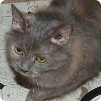 Maine Coon Cat for adoption in Stafford, Virginia - Izzy - Torti