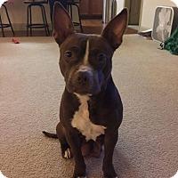 Adopt A Pet :: Mocha $125 - Seneca, SC