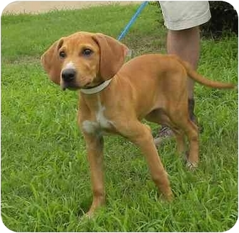 Myers | Adopted Puppy | Westbrook, CT | Redbone Coonhound ...