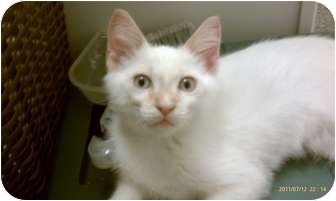 Siamese Kitten for adoption in Morgan Hill, California - Spark