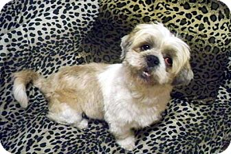 Lhasa Apso Mix Dog for adoption in Los Angeles, California - JAEGGER