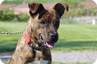 Boxer/Retriever (Unknown Type) Mix Puppy for adoption in Elyria, Ohio - Tigger