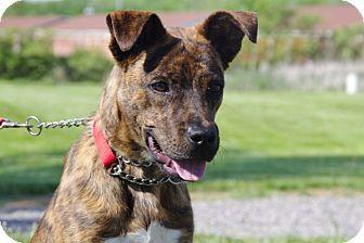 Boxer/Retriever (Unknown Type) Mix Puppy for adoption in Elyria, Ohio - Tigger