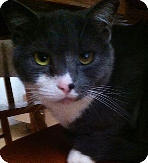 Domestic Shorthair Cat for adoption in Mount Laurel, New Jersey - Annie