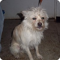 Adopt A Pet :: Snickerdoodle - Greeley, CO