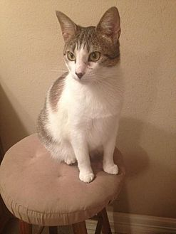 Domestic Shorthair Cat for adoption in Tomball, Texas - Zinia