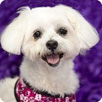 Adopt A Pet :: Yasu - San Dimas, CA