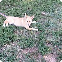 Adopt A Pet :: Kinsey - Flemington, NJ