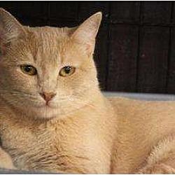 Photo 1 - Domestic Mediumhair Cat for adoption in Chino, California - Hart