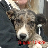 Adopt A Pet :: Sugar - baltimore, MD