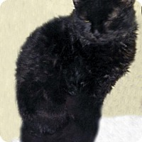 Adopt A Pet :: Devon the Very Shy Selkirk Rexis - Brooklyn, NY