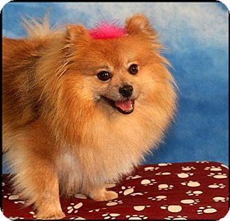Pomeranian Dog for adoption in Dallas, Texas - Sissy Sneakers