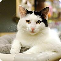 Adopt A Pet :: Kimber - Overland Park, KS