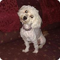 Adopt A Pet :: Bradley Cooper-Adopted! - Detroit, MI