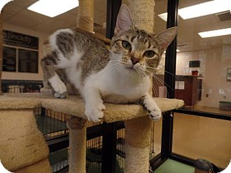 Domestic Shorthair Cat for adoption in Gadsden, Alabama - Jackie