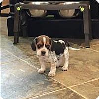 Adopt A Pet :: Donovan - Charlottesville, VA