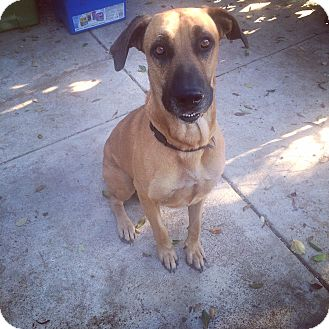 Mastiff Mix Dog for adoption in Alhambra, California - Marley