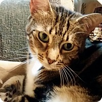 Domestic Shorthair Cat for adoption in Middleburg, Florida - ♥ Talla ♥