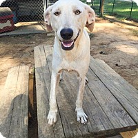 Weimaraner Mix Dog for adoption in Ruston, Louisiana - Holly