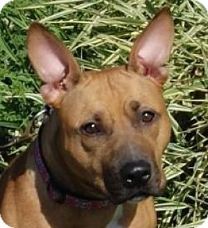 Pit Bull Terrier Mix Dog for adoption in Monroe, Michigan - Maggie