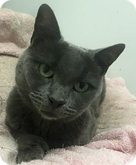 Russian Blue Cat for adoption in Harrison, New York - Bella