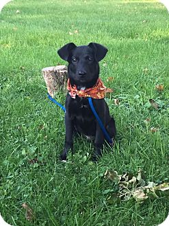 Labrador Retriever Mix Puppy for adoption in New Oxford, Pennsylvania - Noah