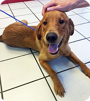 Golden Retriever Mix Dog for adoption in BIRMINGHAM, Alabama - Creel